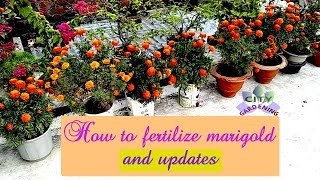 How to fertilize Marigold (गेंदा ) to get huge flowering and updates