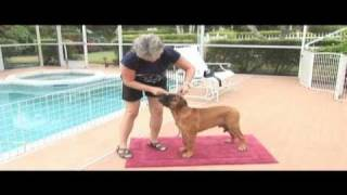 Ranger Bullmastiff Puppy Training -- Video Production