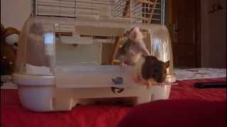 Baby Rat Training First Day