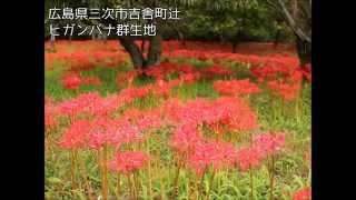 広島県の県北、吉舎町のヒガンバナ群生地です。彼岸花は9月中旬ころに赤...