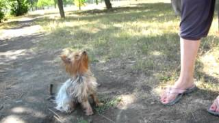 Funny Dog Yorkshire Terrier Iriska - Dog Training.