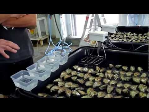 Kyle educating the family on oyster breeding