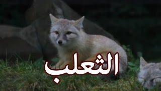 الحيوانات - الثعلب