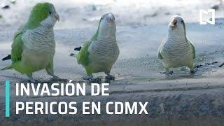 Pericos invaden CDMX - Las Noticias