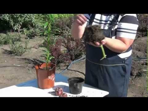 видео: Как правильно посадить лилии из горшка