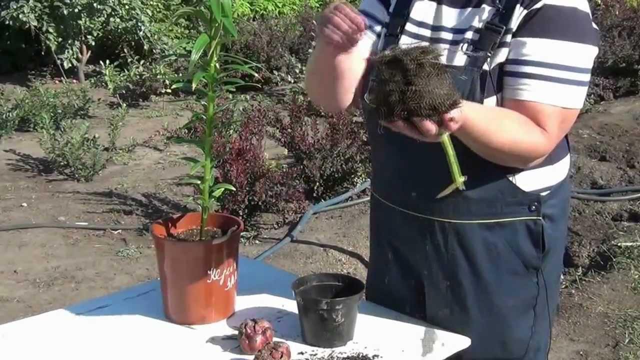 Как правильно посадить лилии из горшка