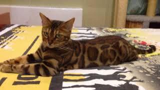 Бенгальская кошка из питомника Benamour, Санкт-Петербург