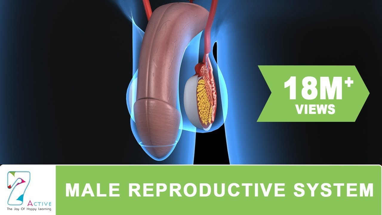 The Male Reproductive System Of Human - Youtube-3945