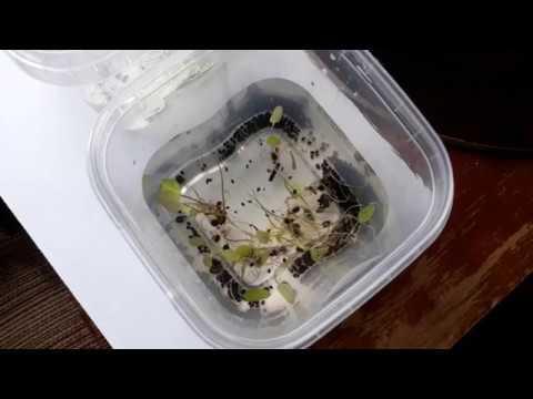 Кувшинка(водяная лилия) из семян. Nymphaea(water lilie) from seeds.