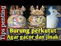 Burung Perkutut Agar Gacor Manggung Dan Jinak Tips Penting  Mp3 - Mp4 Download