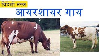 Dairy Farming : Ayrshire Cow and its Characteristics | आयरशायर गाय और उसकी विशेषताएं
