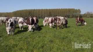 Génisses Normandes en pâture sur un mélange prairial de graminées fourragères