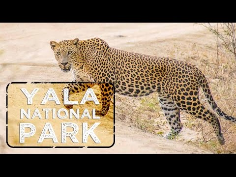 Yala National Park Safari Sri Lanka  | Leopard fight!