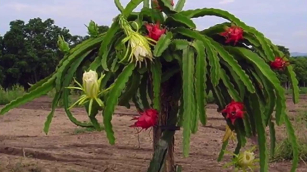 How To Grow Dragon Fruit Plant In Your Back Yard Telugu Version 2