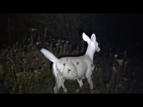 Albino Deer In Pennsylvania 2017 Video