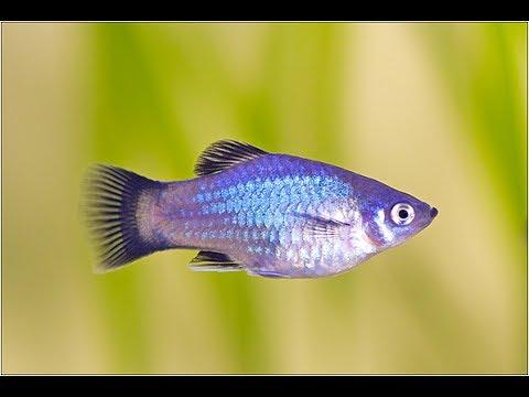 Oranda Power : Platys + Goldfish... Could It Work?