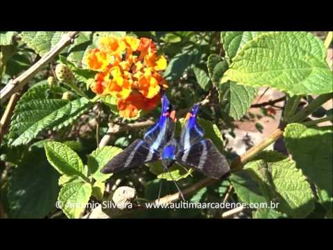 Rhetus periander periander Parque Ibirpuera-SP-BR 1 5 2016 Antonio Silveira