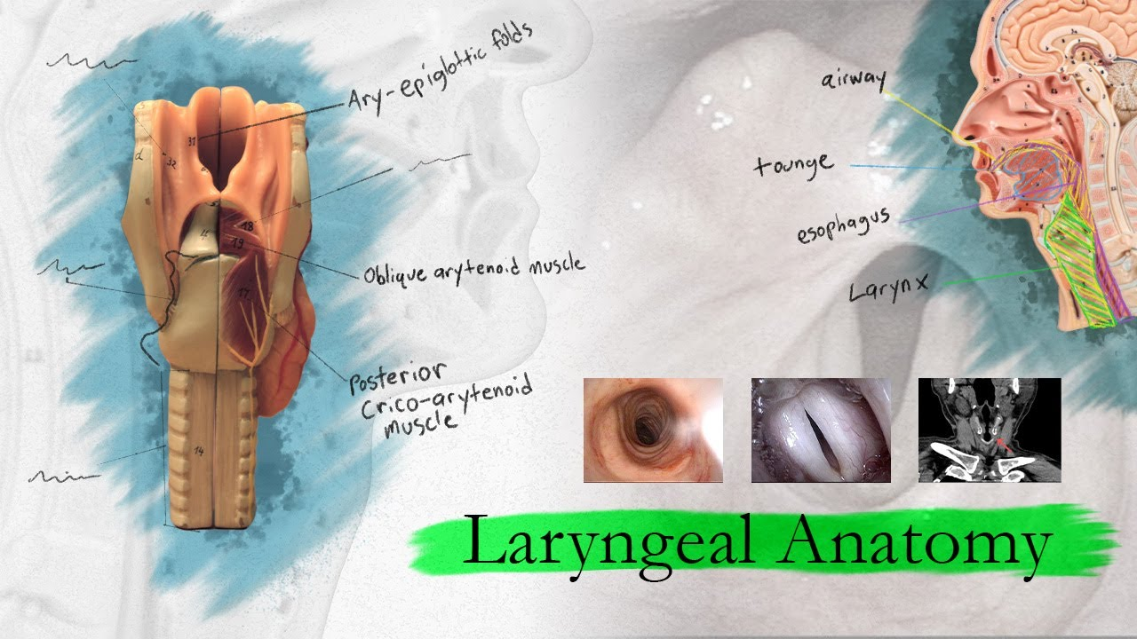 Introduction to Larynx, Pharynx, and Airway Anatomy - YouTube