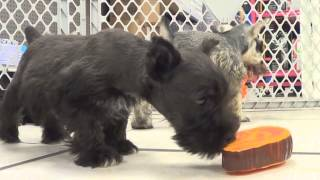 Miniature Schnauzer, Puppies, For, Sale, In, Clifton, New Jersey, Nj, Morris, Passaic, Camden, Union