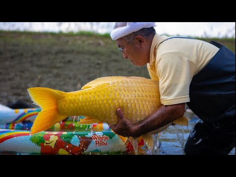 This breeder grows the REAL GOLD Koi