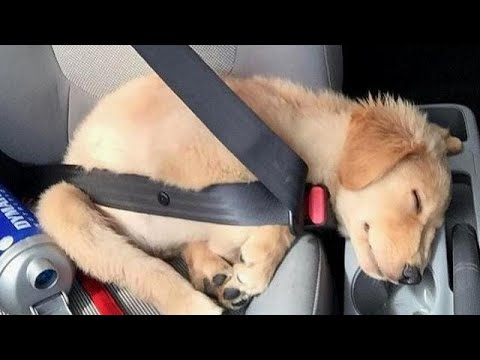 Funniest & Cutest Golden Retriever Puppies #32 – Funny Puppy Videos 2019