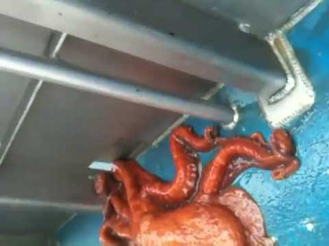 Incredible Octopus Escape Through A Small Hole !!!