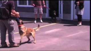 E Collar Demonstration With An Out Of Control Dog