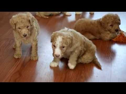 Lucy's Australian Labradoodle puppies