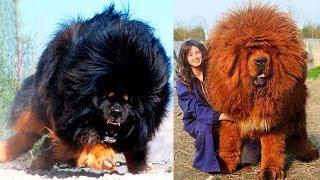 Die 10 Gefährlichsten Hunde der Welt!