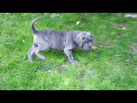 Neapolitan Mastiff Puppies First Time Outside In The Garden