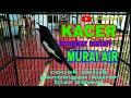 Pancingan Kacer Ful Bongkar Materi Murai Air Sngat Cocok Untuk Memancing Emosi Kacer  Mp3 - Mp4 Download