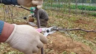 초보자도 가능한 사과 대추나무묘목 전지방법을 알아 봅시…