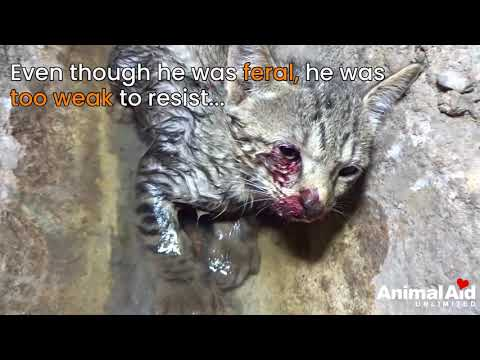 Tiny kitten dying in drain, rescued and...Feisty!