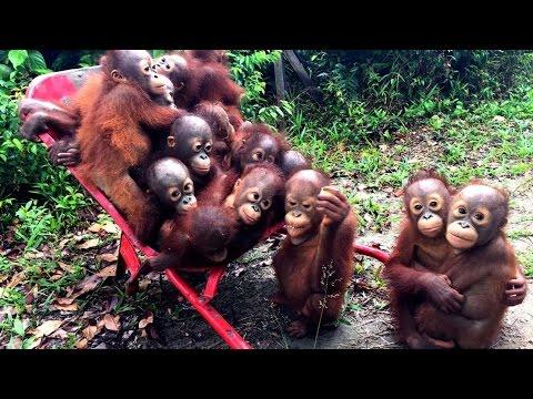 Adorable Orangutan's Go To 'School' In Wheelbarrow