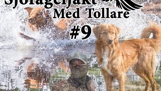 Sjöfågeljakt med Tollare #9 Duck hunting