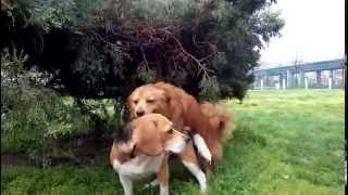 (Dog mating) Köpek Çiftleşmesi HD 1080p