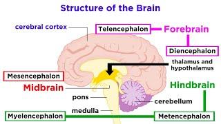 Type 2 Ventral Telencephalic Neurons – Sherlock Holmes