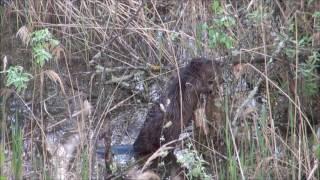 Видео охота на бобра. Весенний бобр.
