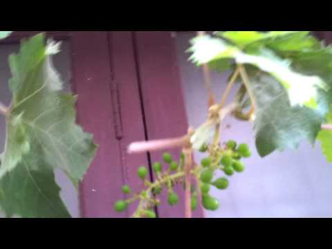 Grape garden in my house ollur trichur kerala