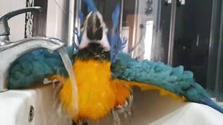 Прикольный попугай АРА купается. Смешной попугай.(как попугай Жора, Григорий, Наташа)