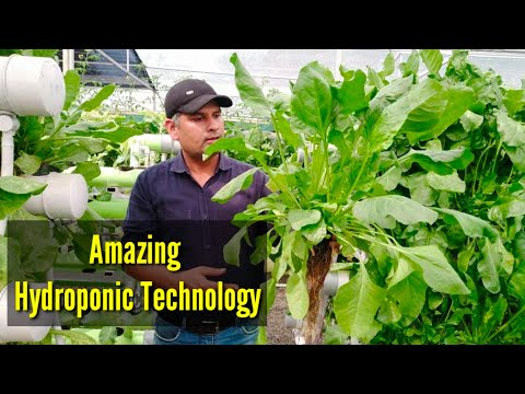 spinach-cultivation-in-hydroponic
