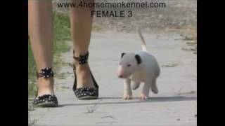 Bull Terrier Puppies Available   The Four Horsemen Kennel   6 Weeks Old   D Litter