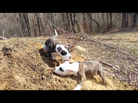 Cute, Alapaha Blue Blood Bulldog Puppies Playing Around! 2020