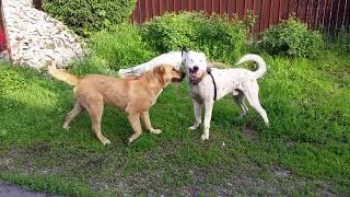 Дружба собак пита с алабаем