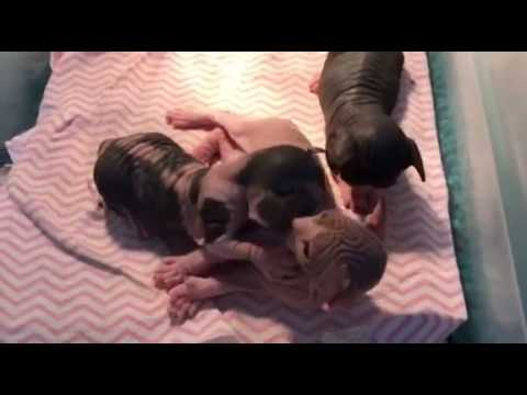 3 week old Bambino and Sphynx Kittens Playing