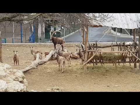 A herd of Siberian ibexes