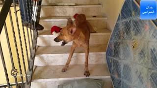 اخراج كلاب ضاله ومسعوره من داخل منزل  مع جمال العمواسي