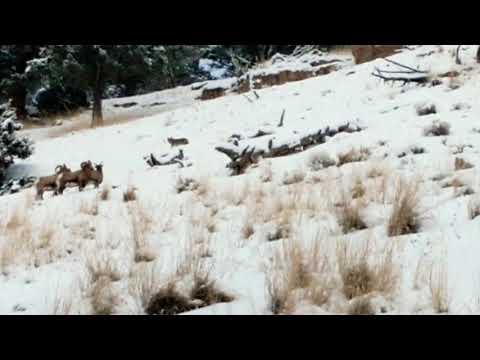 Coyote & Big Horn Sheep at Yellowstone