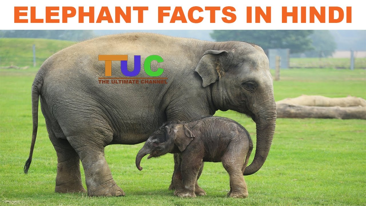 Uncategorized Elephant Information elephant information and facts in hindi animals the ultimate channel