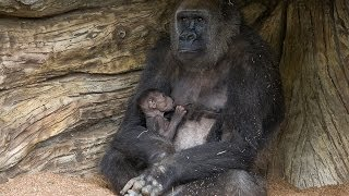 Mother Gorilla Introduces Baby to Troop(A new mother gorilla at the San Diego Zoo Safari Park ventured outdoors this morning for the first time with her 13-day-old baby girl. The mother, Imani, and ..., 2014-03-26T17:01:52.000Z)